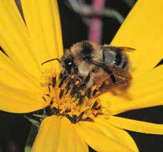 Bild 1: Arbeiterin der Bunten Hummel (Bombus sylvarum) im Blütenstand des Topinamburs (Helianthus tuberosus). Die Körbchen der Hinterbeine sind noch nicht mit Pollen gefüllt (Foto: M. Klatt).